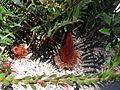 Banksia blechnifolia.JPG