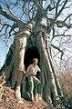 Baobab géant.jpg