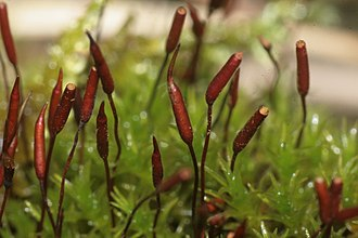 Embryophyte - Most bryophytes, such as these mosses, produce stalked sporophytes from which their spores are released.