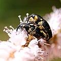 Baris dispilota mating on Bistorta officinalis subsp. japonica s2.jpg