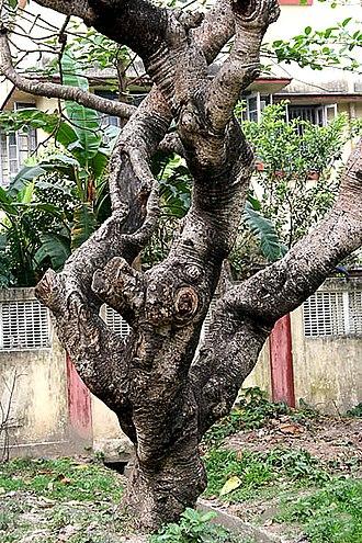 Plumeria obtusa - Image: Bark I IMG 4179