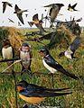 Barn Swallow From The Crossley ID Guide Eastern Birds.jpg
