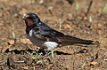 Barn swallow, Hirundo rustica, at Suikerbosrand Nature Reserve, Gauteng, South Africa (23266518802).jpg