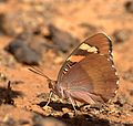 Baronet Butterfly from JP Nagar Forest,Banaglore,Karnataka,India.jpg