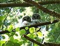 Barred Owl Chicks- 2008 (2592618849).jpg