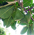 Barringtonia asiatica, Box Fruit Tree (13883670469).jpg