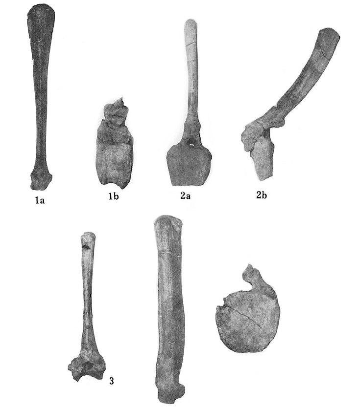 Barsboldia sicinskii
