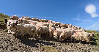 Basco-béarnaise - Flock of Basco-béarnaise sheep near Col d'Aubisque