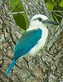 Beach Kingfisher - Halmahera S4E3693 (cropped).jpg