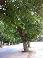 Beautiful Platanus Trees.jpg