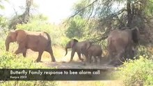 ملف:Bee-Threat-Elicits-Alarm-Call-in-African-Elephants-pone.0010346.s004.ogv