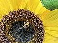 Bee collecting pollen on a sunflower (45031547221).jpg