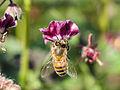 Bee gathering nectar (13931684960).jpg