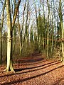Beeches, Friston Forest - geograph.org.uk - 670376.jpg