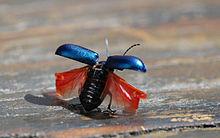 La Coccinelle porte-bonheur dans COCCINELLE 220px-Beetle_takeoff