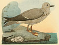 Beitrag zur fauna Centralpolynesiens. Ornithologie der Viti- Samoa- und Tonga-inselnPl13 part03 Procelsterna albivitta.jpg