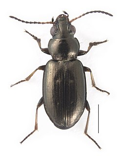 <i>Bembidion ambiguum</i> Species of beetle