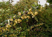 زرشک از گونۀ Berberis thunbergii