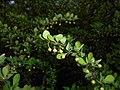 Berberis thunbergii Microphylla 2016-04-19 7559.jpg