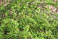 Berberis wilsoniae 2019-04-28 01.jpg
