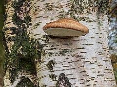 Berkenzwam (Piptoporus betulinus) (d.j.b.) 03.jpg