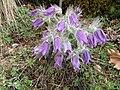 Berne Botanic garden Pulsatilla halleri.jpg