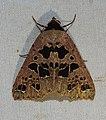 Bessacta polyspila Erebidae by Dr. Raju Kasambe DSCN0296 (3).jpg