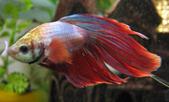 Anabantoidei - The Siamese fighting fish, Betta splendens, originally bred for staged fights, has become popular in the aquarium trade
