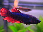 Betta splendens (w) dunkelrot ct.JPG