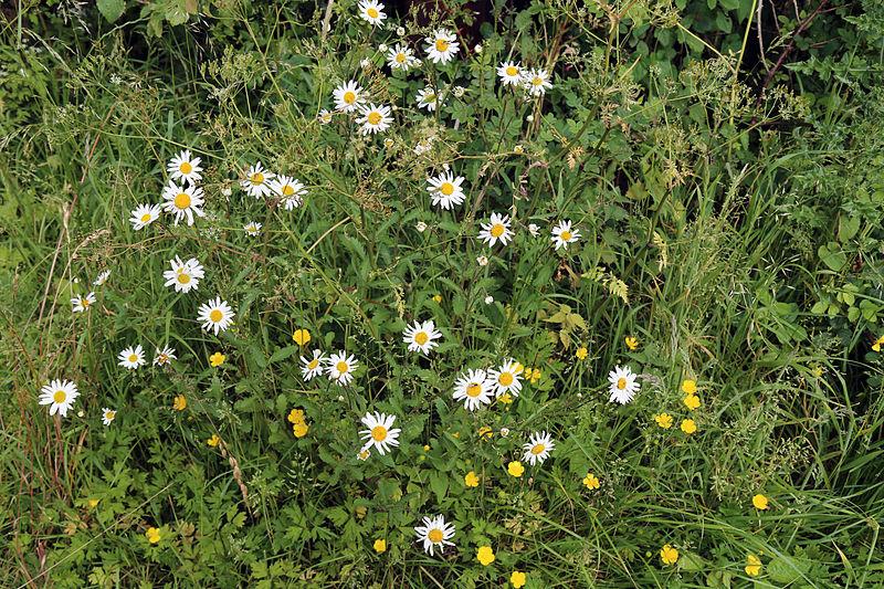 File:Betts Lane wild flower verge at Nazeing, Essex, England.JPG