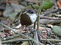 Bicolored Antbird RWD6.jpg