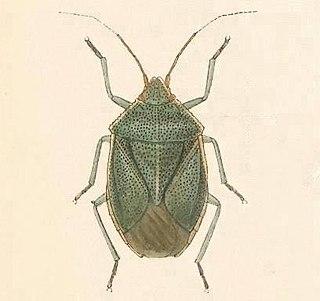 <i>Chlorocoris hebetatus</i> Species of true bug