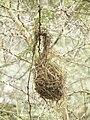 Birdnests in Tanzania 0364 Nevit.jpg