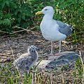 Birds of Sweden 2016 05.jpg