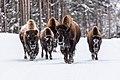 Bison walking on a road in winter (24db7ea1-f1da-495f-9de4-53cd8c9ff4ce).jpg