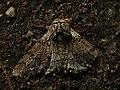 Biston strataria ♂ - Oak beauty (male) - Пяденица-шелкопряд тополёвая (самец) (40213253554).jpg