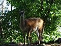 Bk Llama-3, Kristiansand Zoo, Norway.jpg