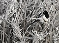 Black-Billed Magpie on Seedksadee NWR (24253534305).jpg
