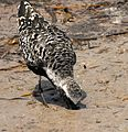 Black-bellied Plover Building up strength for a long journey - Flickr - Andrea Westmoreland.jpg