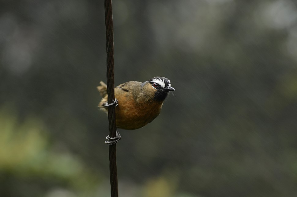 Black-chinned laughingthrush (Trochalopteron cachinnans) from Ooty JEG3561