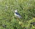 Black-crowned Night Heron. Nycticorax nycticorax (31509573565).jpg