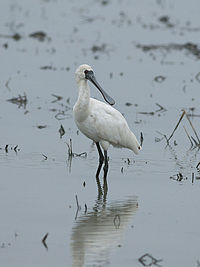 Black-faced Spoonbill 5333