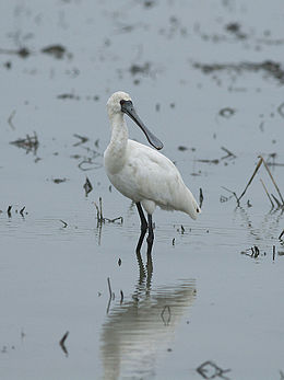 Black-faced Spoonbill 5333.jpg