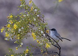 Black-tailed Gnatcatcher (33892304431).jpg