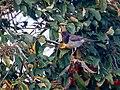 Black-throated Thrush (49305228471).jpg