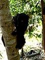 Black Lemur Nosy Komba Madagascar - panoramio.jpg