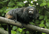 Black Lion Tamarin 3.jpg