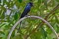 Black drongo, Rabindra Sarobar DSF6616.jpg