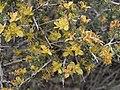 Blackbrush, Coleogyne ramosissima (31693963355).jpg
