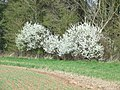 Blackthorn Blossom, Coxgreen, Staffordshire - geograph.org.uk - 395648.jpg